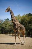 Giraffe. Photo stock