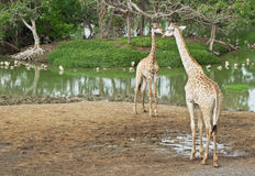Giraffe. Two giraffes in the safari park Stock Photos