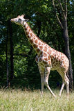 Giraffe. In a field in the afternoon sun royalty free stock photography