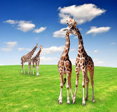Giraffe. Love in pasture with blue sky Stock Image