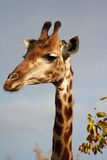 Giraffe. Looking for food Stock Photography