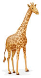 Giraffe Fotos de Stock Royalty Free