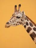 Giraffe. Cute giraffe portrait on yellow background Stock Photo