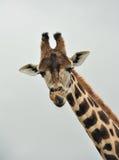 A Giraffe Stock Photos