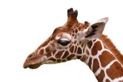 Επικεφαλής Giraffe της κινηματογράφησης σε πρώτο πλάνο Στοκ Φωτογραφίες