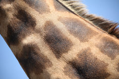 Giraffe. Close-up shot of girafe neck on the blue sky background Royalty Free Stock Images