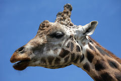 Giraffe. Close up shot of giraffe head on the blue sky background Stock Photography