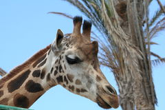 Giraffe. A closeup of the face of a giraffe, peeping over, with a tree in the background Stock Photography