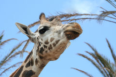 Giraffe. A closeup image of a giraffe Royalty Free Stock Images
