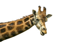 Giraffe. Isolated over white background Royalty Free Stock Image