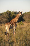 Giraffe. Young giraffe ih the Kruger National Park Royalty Free Stock Photos