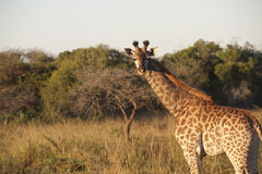 Giraffe. Young giraffe ih the Kruger National Park Royalty Free Stock Photo