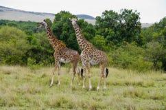 Free Giraffe Royalty Free Stock Photo - 28281815