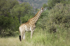Giraffe. A giraffe standing in the bush in Africa Royalty Free Stock Photo