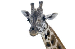 Giraffe. A portrait of a Giraffe isolated on white Stock Photography