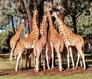Giraffe. Forming a bottle like structure when having a feed . A tricky one as well when you try to count how many s in all on the photo Stock Images