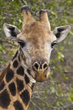Giraffe. Portrait of a Giraffe in Kruger National Park Stock Photos