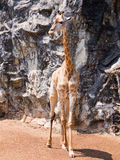 A Giraffe. Long shot of a Giraffe royalty free stock image