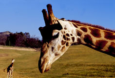 Giraffe with 2nd giraffe in background. Giraffe Neck & Head with giraffe in background royalty free stock images