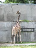 Giraffe 3 Stock Photography