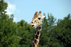 Giraffe. A beautiful image of a giraffe captured with thick green foliage in the background Stock Photography