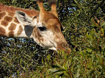 Giraffe1 στοκ εικόνες