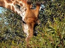 Giraffe2 στοκ εικόνα