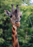 Giraffe Photographie stock