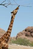 giraffe τέντωμα Στοκ Εικόνες