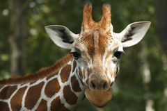 Free Giraffe Royalty Free Stock Photo - 34970705