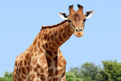 Giraffe. Closeup of giraffe of face looking the photographer. Blue sky Royalty Free Stock Photography