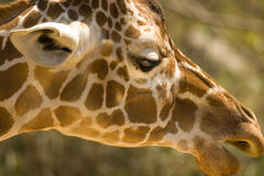 Giraffe. Profile Royalty Free Stock Photography