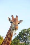 Giraffe. Στοκ Φωτογραφία