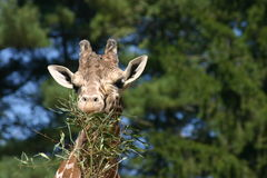 Giraffe 5 Στοκ Φωτογραφίες
