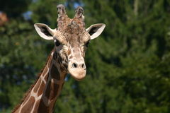 Giraffe 7 Στοκ Φωτογραφία