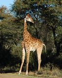 Giraffe. A full lenth photo of a giraffe photographed in South Africa Royalty Free Stock Images