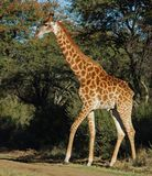 Giraffe. A full lenth photo of a giraffe photographed in South Africa Stock Photos