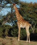 Giraffe. A full length photo of a giraffe photographed in South Africa Royalty Free Stock Photography