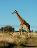 Giraffe. A photo of a Giraffe walking. Photo taken in the Free State, South Africa Stock Images