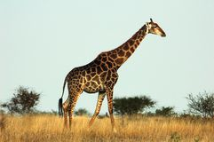 Giraffe. A giraffe walking in the Kruger National Park, South Africa Stock Photo