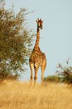 Giraffe. A full lenth photo of a giraffe taken in the Kruger National Park, South Africa Stock Images