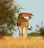Giraffe. A full lenth photo of a giraffe taken in the Kruger National Park, South Africa Royalty Free Stock Image
