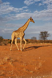 Giraffe. Giraffa Camelopardalis; South Africa; Kalahari desert Stock Photography