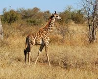 Giraffe. A side view of a young giraffe in the Kruger National Park, South Africa Royalty Free Stock Image