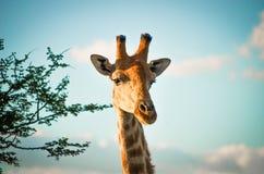 Giraffe. An image of a giraffe Stock Image