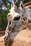 Giraffe. In the zoo Royalty Free Stock Image