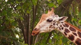 Giraffe φιλμ μικρού μήκους