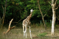Giraffe. Young Giraffe standing in the zoo and looking Stock Photography