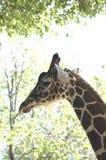 Giraffe # 4. Feeding giraffe Stock Photo