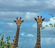 Giraffe. In the bushveld of South Africa Stock Images